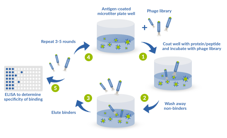 Chart of panning (biopanning) process : 1 - Incubation with phage library 2 - Wash away non-binders 3 - Elution of binders 4 - 3 to 5 rounds of panning/biopanning process 5 - ELISA to determine specificity of binding after 3-5 rounds of biopanning