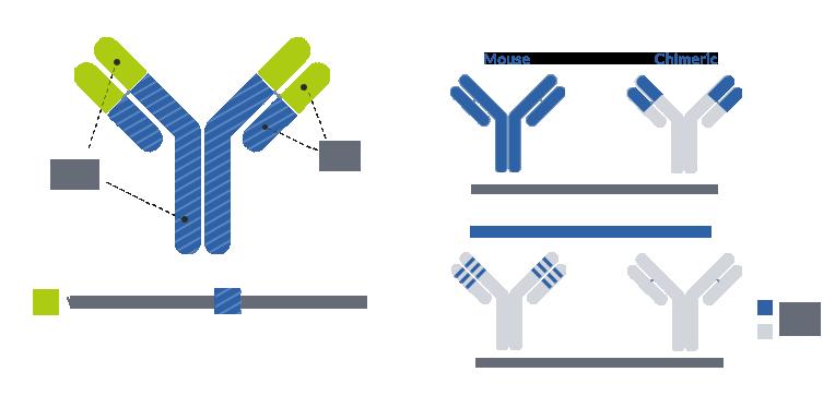 Antibody humanization services - ProteoGenix