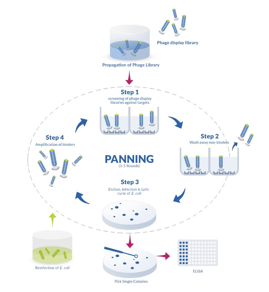 Phage display cycle : panning biopanning steps