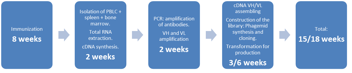 Immunization 8 weeks ; Isolation of PBMC + spleen + bone marrow, Total RNA extraction, cDNA synthesis in 3/4 weeks ; PCR VH and VL amplification in 3/4 weeks ; Construction of the library phagemid synthesis and cloning, Transformation for production in 2 weeks and TOTAL : 15/18 weeks